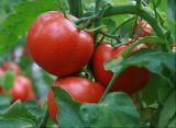 lycopene dell'estratto del pomodoro 100%Natural per gli alimenti ed il supplemento