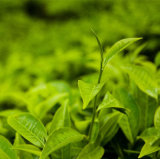 De groene Groene Thee van de Goede Kwaliteit van het Theeblaadje