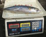 Maquereau Pacifique congelé par mer (Scomber japonicus)