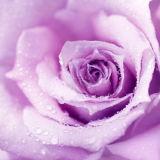 Blühendes reizendes Rosen-Segeltuch-Drucken mit Funkeln für Dekoration