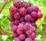 Estratto Proanthocyanidin 95% del seme dell'uva