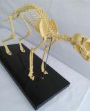 Tierbiologie-unterrichtende Katze Skeleton Anatomie-Modell (R190118)