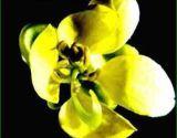 Sennoside de haute qualité à 8% d'extrait de feuilles de senna