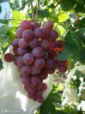 Tecido não tecido de PP Spunbond para saco de uvas