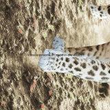o leopardo Pigment&Disperse do vulcão 100%Polyester imprimiu a tela para o jogo do fundamento
