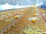 Стальные птицы дома/Цыпленок с помощью автоматического оборудования (XGZ-A060)