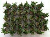Plantes et fleurs artificielles de la centrale succulente Gu-Jys-00040