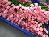 Migliore tulipano di vendita di Gu-Hy427220440