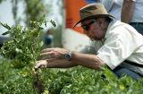 2016 de Nieuwe Aseptische Tomaten van het Gewas 400 G van de Ingeblikte Tomatenpuree Brix 28-30% van Koude Onderbreking
