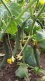 Unigrow Bio fertilizante orgánico para la siembra de pepino