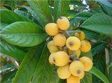 ビワの葉のエキスのUrsolicの酸