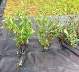 Stuoie di giardinaggio pp di controllo di Weed di concentrazione ad alta resistenza tessute