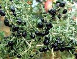 良質の黒のGojiの果実の粉