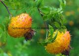 Выдержка Роза Roxburghii, выдержка плодоовощ Cili для еды и дополнение