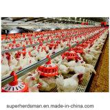 Equipamento automático das aves domésticas para a galinha, a camada e o reprodutor de grelha