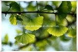 제조자 자연적인 은행나무 잎 잎 또는 은행나무 Biloba 10:1 추출 분말