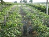다이아몬드 UV 보호를 가진 농업 반대로 새 그물