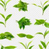 Feuilles de thé vert Thé vert de bonne qualité