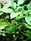 Gynostemma PentaphyllaのエキスGypenoside CAS第15588-68-8