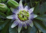 情熱の花のエキスのFlavonoids 3%~5%