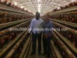 Couche de batterie automatique de la Volaille Poulet cages utilisées au Nigéria