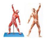 Muscles Xy-A7001 de mâle avec les organes internes (78cm)
