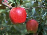 Apple-Polyphenol 30%50% 70% 80% am hochwertigsten