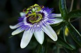 Neigungs-Blumen-Auszug-Flavonoide 3%~5%