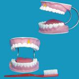 医学の教授歯の手入れの人間の歯モデル(R080108)
