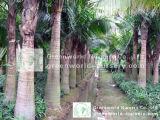Ravenea Rivularis