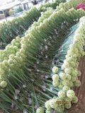 I fiori artificiali della cipolla fiorisce i colori Mixed 67cm Gu-Jys-2000170