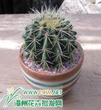 Golden Baril Cactus (HBHC02)