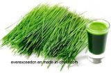 Порошок травы ячменя поставкы изготовления органический