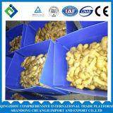 Chinesischer frischer Ingwervollständiger Shandong-Ursprung