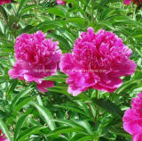 Roter Herbaceous Pfingstrose-Wurzel-Auszug (Hong shao Yao), Paeoniflorin 80%