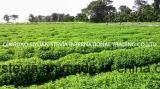 Stevia-Blatt extrahiert P.E. 90%Min. Natürliche Stoffe für Nahrung
