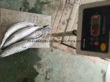 最もよい新鮮さの海のカツオ200-300g