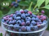 Extrato de mirtilo Anthocyanidins puros e naturais