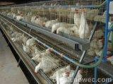 De Kooien van de Kip van Kenia voor Verkoop