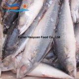 De grote Voorraad Bevroren Overzeese Vreedzame Makreel 100%Nw van Vissen