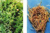 Artemisia annua extrait pour le traitement du paludisme