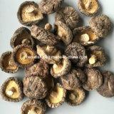 Secado de hongos Maitake (Grifola frondosa)