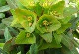Euphorbiengummi Lathyris Spurge Auszug-Puder