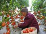 病気の抵抗のトマトによって扱われるUnigrowの土肥料