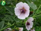 Marshmallow (Althaea) Корневой извлечения 10: 1