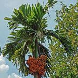 고품질 빈랑나무 Catechu 추출 Arecoline 빈랑나무의 열매 추출