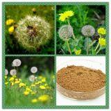 Alimentation directe en usine 100% naturel Extrait de pissenlit