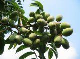 Олив экстракт листьев Oleuropein Hydroxytyrosol 10597-60-1