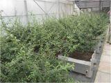 Wurzel-Durchbohrung-Widerstand-Bitumen-wasserdichte Membrane für Pflanzendächer