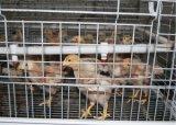 Клетки цыпленка курочки цыпленоков уникально фермы клетки цыпленка курочки конструкции малые (тип)